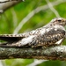 Nightjars, Swifts, Hummingbirds, and Allies - Photo (c) Francisco Farriols Sarabia, some rights reserved (CC BY)