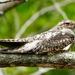 Vencejos, Colibríes, Tapacaminos, Pájaros Estaca Y Parientes - Photo (c) Francisco Farriols Sarabia, algunos derechos reservados (CC BY)