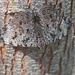 Mariposa Tronadora de Guatemala - Photo (c) Anne Toal, algunos derechos reservados (CC BY)