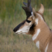 Pronghorns - Photo (c) Nick Chill, some rights reserved (CC BY-NC-ND)