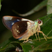 Thracides phidon - Photo (c) Ken Kertell, algunos derechos reservados (CC BY-NC)