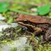 Hylarana latouchii - Photo (c) Austin 0201,  זכויות יוצרים חלקיות (CC BY)