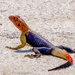 Namib Rock Agama - Photo (c) Luis Querido, some rights reserved (CC BY-NC)