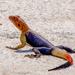 Agama Roqueño de Namibia - Photo (c) Luis Querido, algunos derechos reservados (CC BY-NC)