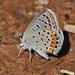 Mariposa Sedosa Azul de California - Photo (c) Jerry Oldenettel, algunos derechos reservados (CC BY-NC-SA)