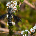Miltinus atripennis - Photo (c) Jean Hort, algunos derechos reservados (CC BY-NC)