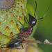 Camponotus herculeanus - Photo (c) Felix Riegel, algunos derechos reservados (CC BY-NC)