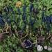 Tolypocladium ophioglossoides - Photo (c) Richard Tehan,  זכויות יוצרים חלקיות (CC BY-NC)