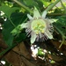 Passiflora adenopoda - Photo (c) laudeny, some rights reserved (CC BY-NC)