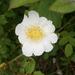 Rosa arvensis - Photo (c) Meneerke bloem, algunos derechos reservados (CC BY-SA)