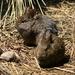 Volcano Rabbit - Photo (c) Alfonso Gutiérrez Aldana, some rights reserved (CC BY-NC)