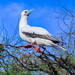 Indo-Pacific Red-footed Booby - Photo (c) Susan K Bryan, some rights reserved (CC BY-NC)