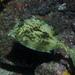 Acanthostracion quadricornis - Photo (c) Bernard Picton,  זכויות יוצרים חלקיות (CC BY)