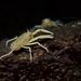 Munidopsis polymorpha - Photo (c) Frank Vassen, algunos derechos reservados (CC BY)