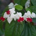 Clerodendrum thomsoniae - Photo (c) Stefano,  זכויות יוצרים חלקיות (CC BY-NC-SA)