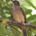Pycnonotus simplex - Photo (c) Tan Kok Hui, μερικά δικαιώματα διατηρούνται (CC BY-NC)