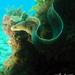 Gymnothorax pseudothyrsoideus - Photo (c) Tony Strazzari, alguns direitos reservados (CC BY-NC)