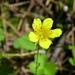 Waldsteinia fragarioides - Photo (c) Superior National Forest, μερικά δικαιώματα διατηρούνται (CC BY)