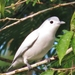 Snowy Cotinga - Photo (c) Eric van den Berghe, some rights reserved (CC BY-NC)