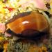 Luria lurida - Photo (c) slebris, algunos derechos reservados (CC BY-NC)