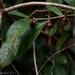 Siparuna guianensis - Photo (c) fabiomanfredini, algunos derechos reservados (CC BY-NC)