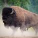 Bisonte Americano de Praderas - Photo (c) Kurt Bauschardt, algunos derechos reservados (CC BY-SA)