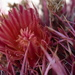 Fire Barrel Cactus - Photo (c) Monica Resnik, some rights reserved (CC BY-NC)