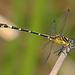 Austrogomphus divaricatus - Photo (c) christopherburwell, algunos derechos reservados (CC BY-NC)