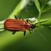 Scarce Cardinal Beetle - Photo (c) Pavel Kirillov, some rights reserved (CC BY-NC-SA), uploaded by Pasha Kirillov