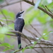 Pericrocotus tegimae - Photo (c) Allen Lyu,  זכויות יוצרים חלקיות (CC BY-NC)