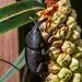 Homalinotus coriaceus - Photo (c) Instituto Últimos Refúgios,  זכויות יוצרים חלקיות (CC BY-NC)