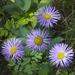 Erigeron speciosus - Photo (c) Fluff Berger, algunos derechos reservados (CC BY-SA)
