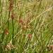 Juncus effusus austrocalifornicus - Photo (c) hikingsandiego, algunos derechos reservados (CC BY-NC)