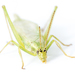 Prairie Tree Cricket - Photo (c) Lee Hoy, some rights reserved (CC BY-NC-ND)