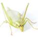 Oecanthus argentinus - Photo (c) Lee Hoy, algunos derechos reservados (CC BY-NC-ND)