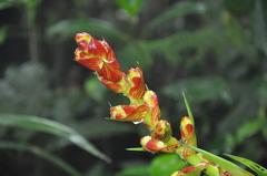 Image of Guzmania darienensis