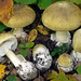 Deathcap - Photo (c) Federico Calledda, some rights reserved (CC BY-NC)