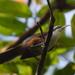 Pomatorhinus montanus - Photo (c) Tan Kok Hui, algunos derechos reservados (CC BY-NC)