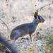 Conejo de Los Palos - Photo (c) pfaucher, algunos derechos reservados (CC BY-NC)