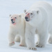 Polar Bear - Photo (c) Morten Ross, some rights reserved (CC BY-NC)