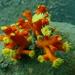 Dendrophyllia arbuscula - Photo (c) Josy Lai,  זכויות יוצרים חלקיות (CC BY-NC)