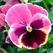 Viola × wittrockiana - Photo (c) Kai Yan,  Joseph Wong,  זכויות יוצרים חלקיות (CC BY-NC-SA)