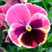 Garden Pansy - Photo (c) Kai Yan,  Joseph Wong, some rights reserved (CC BY-NC-SA)