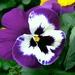 Viola x wittrockiana - Photo (c) Kai Yan,  Joseph Wong,  זכויות יוצרים חלקיות (CC BY-NC-SA)