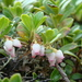 Bearberry - Photo (c) artem1980, some rights reserved (CC BY-NC)