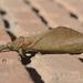 Mariposa-Fantasma - Photo (c) Luísa L. Mota, alguns direitos reservados (CC BY-NC)