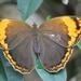 Opoptera sulcius - Photo (c) Renan Martini, algunos derechos reservados (CC BY-NC)