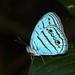 Caeruleuptychia pilata - Photo (c) Ken Kertell, algunos derechos reservados (CC BY-NC)