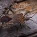 Leptoglossus chilensis - Photo (c) javiergross, algunos derechos reservados (CC BY-NC)