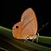 Euselasia attrita - Photo (c) Ken Kertell, algunos derechos reservados (CC BY-NC)
